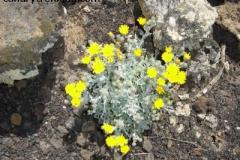 Andryala glandulosa 2