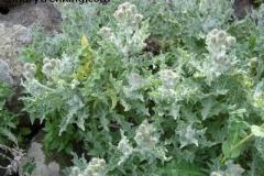 Andryala glandulosa