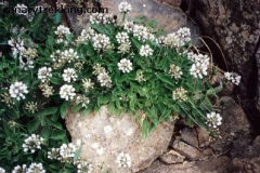 Aspalthium bitominosum