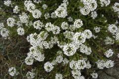 Lobularia canariensis