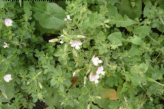 Ononis laxiflora