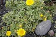 Pulicaria canariensis