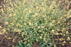 Sicymbrium