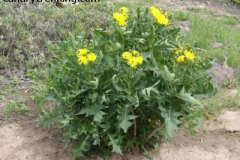 Sonchus pinnnatifidus