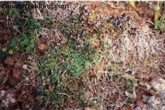 Thymus origanoides