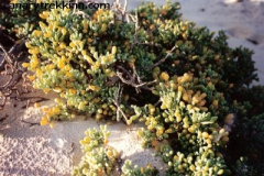 Zygophyllum fontanesii