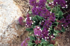 Limonium bourgaeii