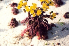 Senecio crassifolius