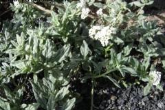 Heliotropium ramossisimum