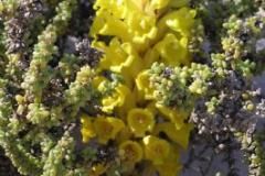 Cistanche phelipaea